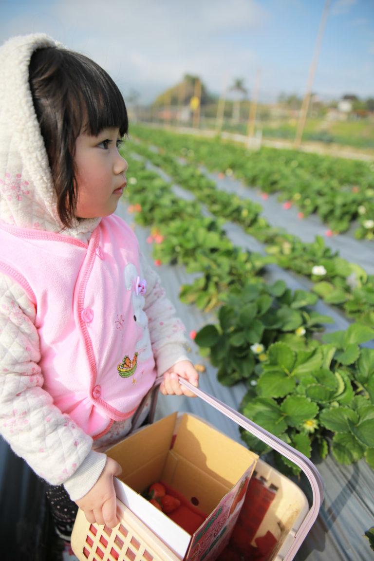 採草莓的姑娘