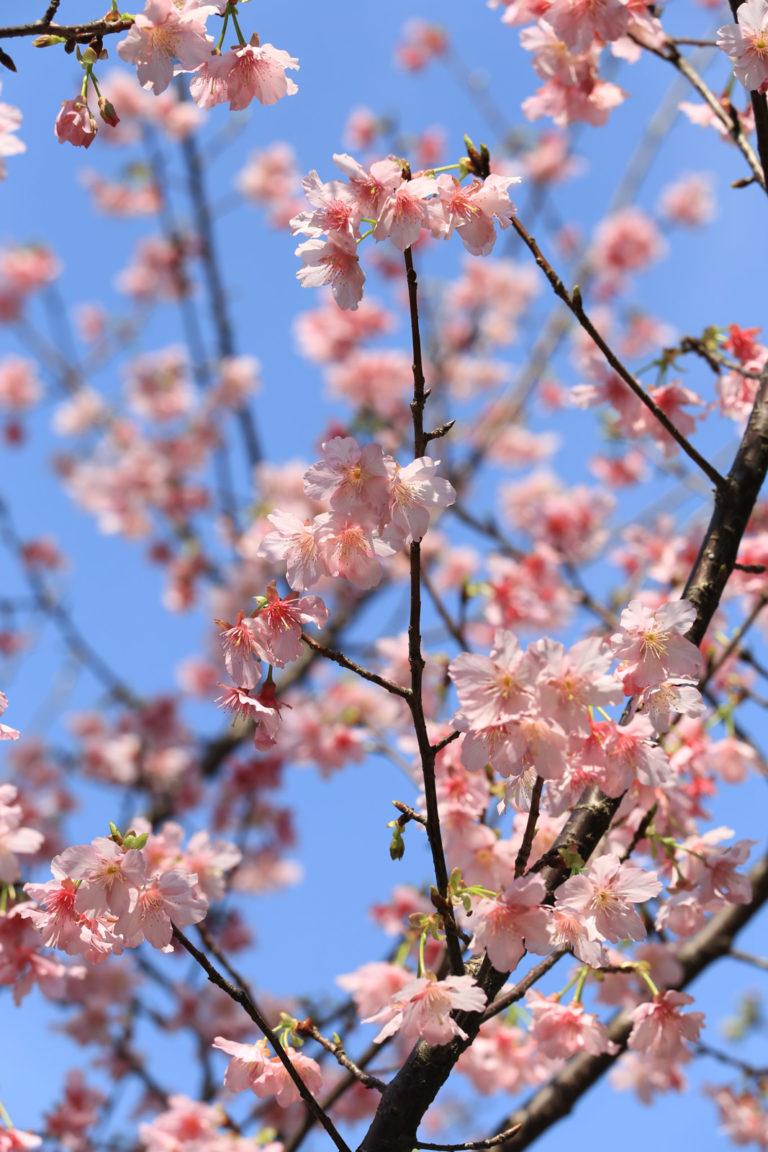 櫻花和藍天