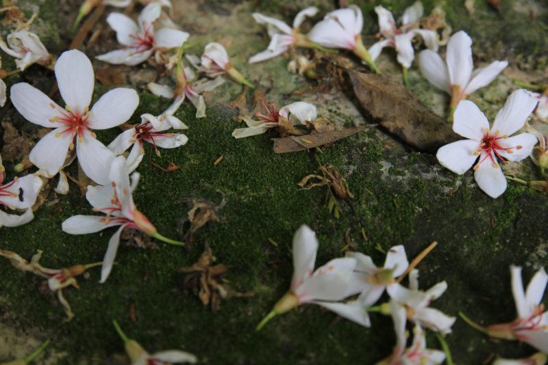 前日下雨,地下已經被打落枯爛的桐花。但到訪之日,風一吹,五月雪仍不斷地飄落。