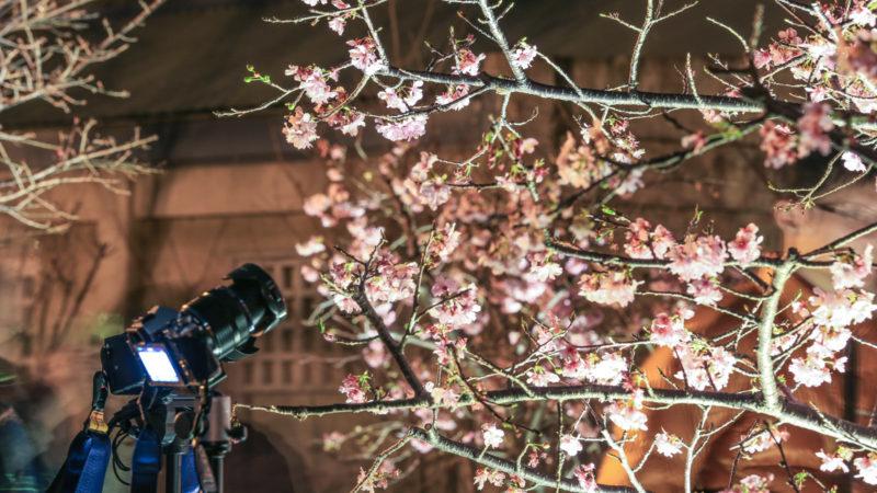 新竹公園的夜櫻