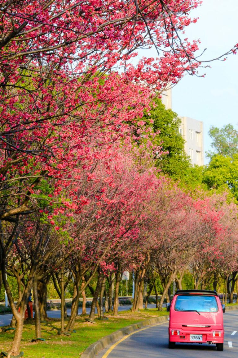 新竹科學園區 山櫻花(緋寒櫻)