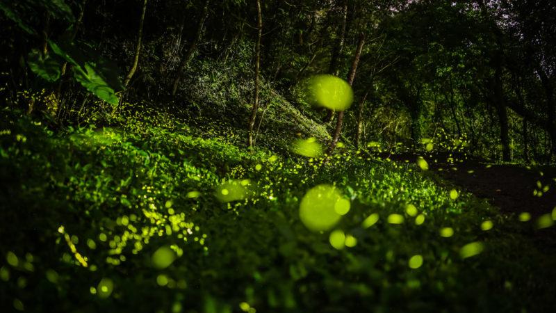 螢火蟲 - 麻布山林