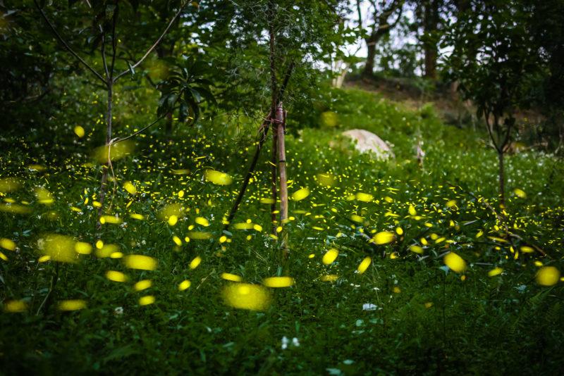 螢火蟲 - 芎林燒炭窩